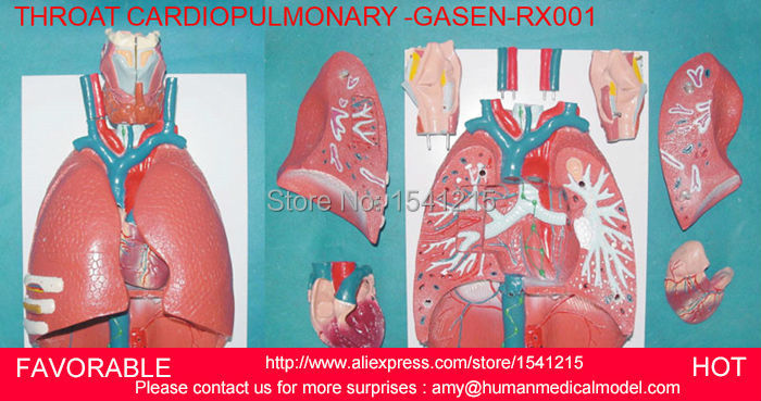 LARYNX ,HEART AND LUNG MODEL RESPIRATORY SYSTEM MODEL,ANATOMY LARYNX,HEART AND LUNG MODEL,RESPIRATORY SYSTEM MODEL-GASEN-RZHX001 human larynx model advanced anatomical larynx model