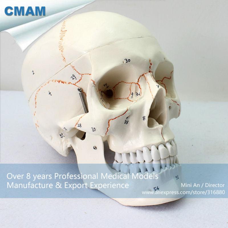 12331 Cmam Skull05 Human Skull Labeled Models For Medical Science In