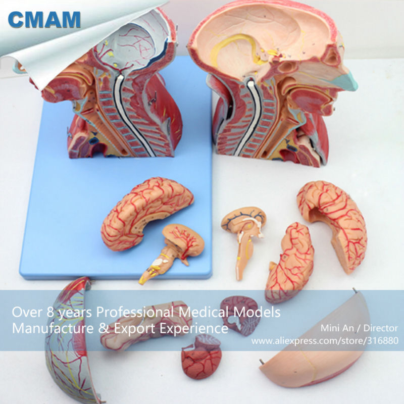 CMAM-MUSCLE07 Head and Neck with Vessels,Nerves and Brain(Medical Model,Anatomical Model) economic half head with vessels model anatomical head model with brain nerves vascular muscles and vessels