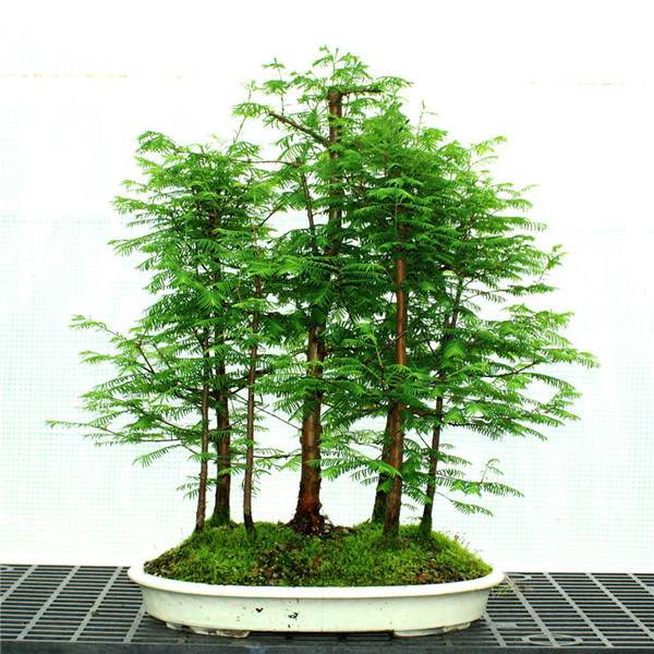 100 Pcs Dawn Redwood Forest Bonsai Metasequoia Glyptostroboides Grow Your Own Bonsai Tree For Home Garden Free Shipping