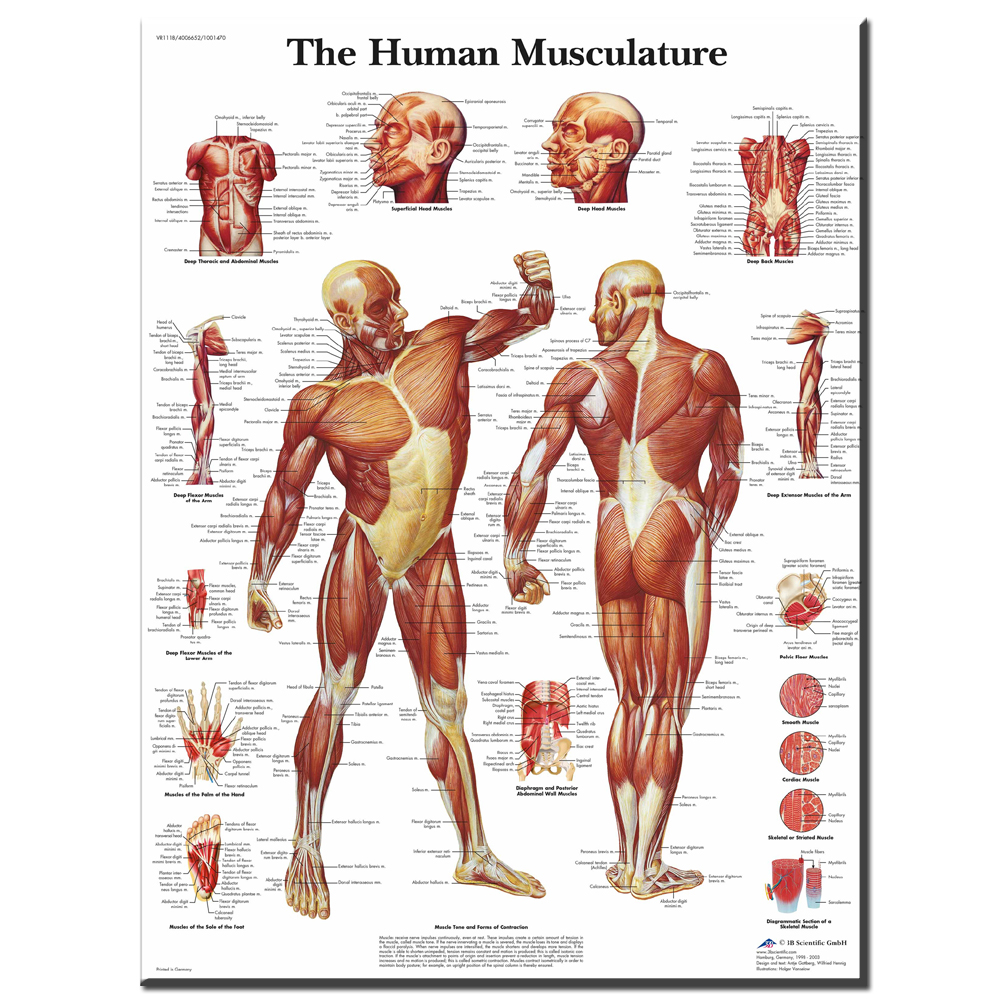 Xdr611 Map Of Human Body Muscular System Classic Vintage Retro Arts