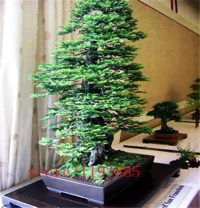 100pcsbag Coast Redwood Seeds Sequoia Sempervirens Bonsai Tree Tree Seedsdecoration Plants For Home Garden