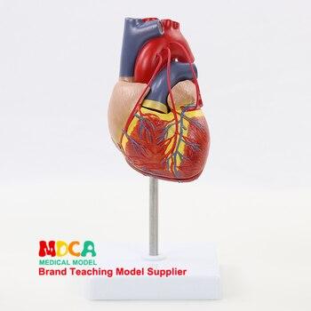 הוראה של לב וכלי דם רפואה MXZ003 עבור אדם 1:1 טבעי גדול מעקפים אנטומי דגם