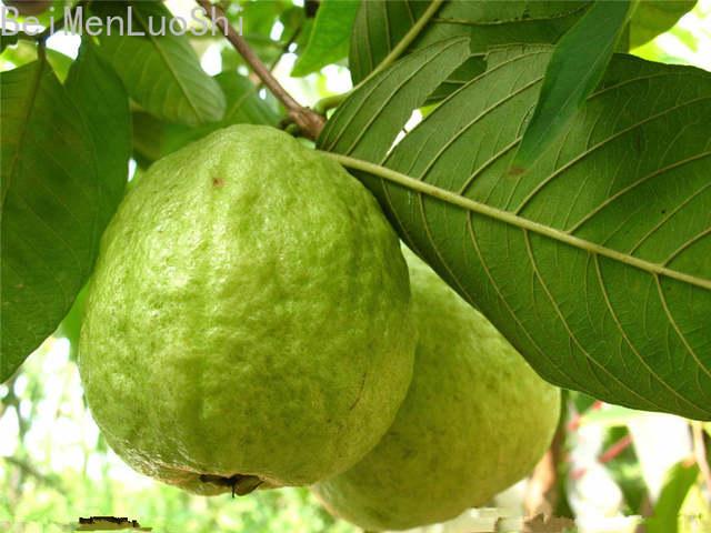Vegetable Gardening Plants Succulent Delicious Guava Fruit Family Plants  Four Seasons Fruit
