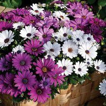 Free shipping 15 Transvaal Daisy SEEDS Osteospermum Garden Flower plant 90% germinationA162