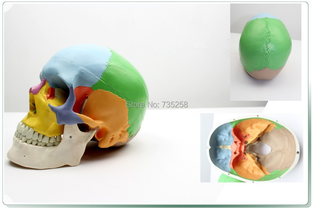 Skull Bony Separation Model,Advanced Color Model of The Skull,1:1 Simulation Skull Model iso advanced infant skull model anatomical skull model