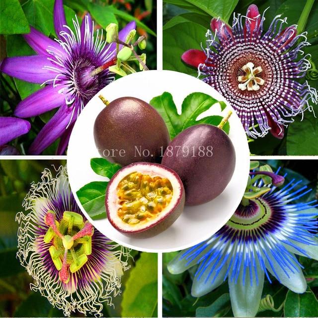 Célèbre Semi di Fiori rari semi albero da frutto semi Passiflora frutto  KQ13