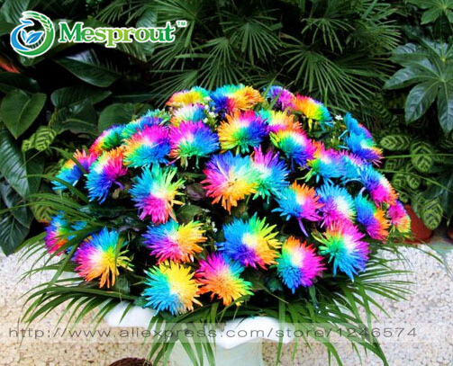 100PC Rainbow Chrysanthemum Flower Seeds, Ornamental Bonsai, Rare Color , New Choose More Chrysanthemum Seeds Garden Flower Plant