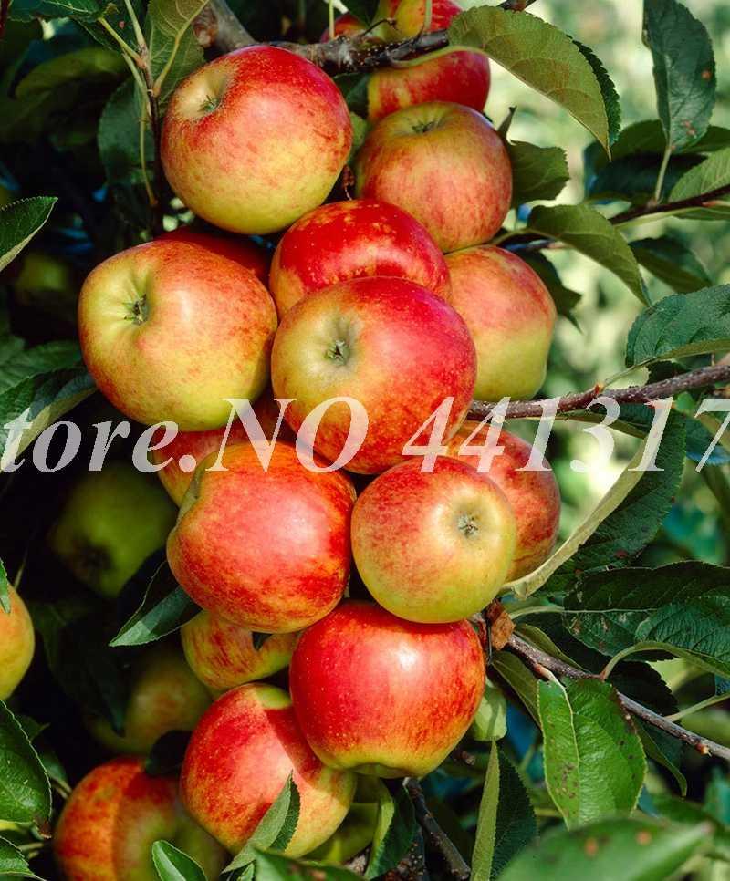 30 قطعة/الحقيبة قزم التفاح بونساي مصغرة شجرة التفاح الحلو العضوية الفاكهة الخضار بوعاء داخلي أو خارجي ديكور المنزل حديقة
