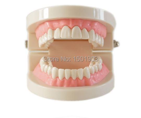 Dental denture model gums standard audlt teeth model Medical teaching tool Teeth model instructional tool teeth model blue dental orthodontics communication model with 4 types of brackets