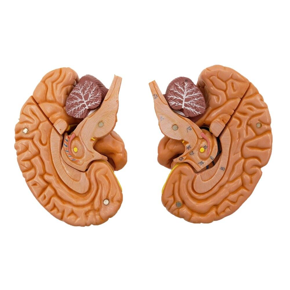 1:1 leben Größe Gehirn Anatomisches Modell, Menschliches Zerebralen ...