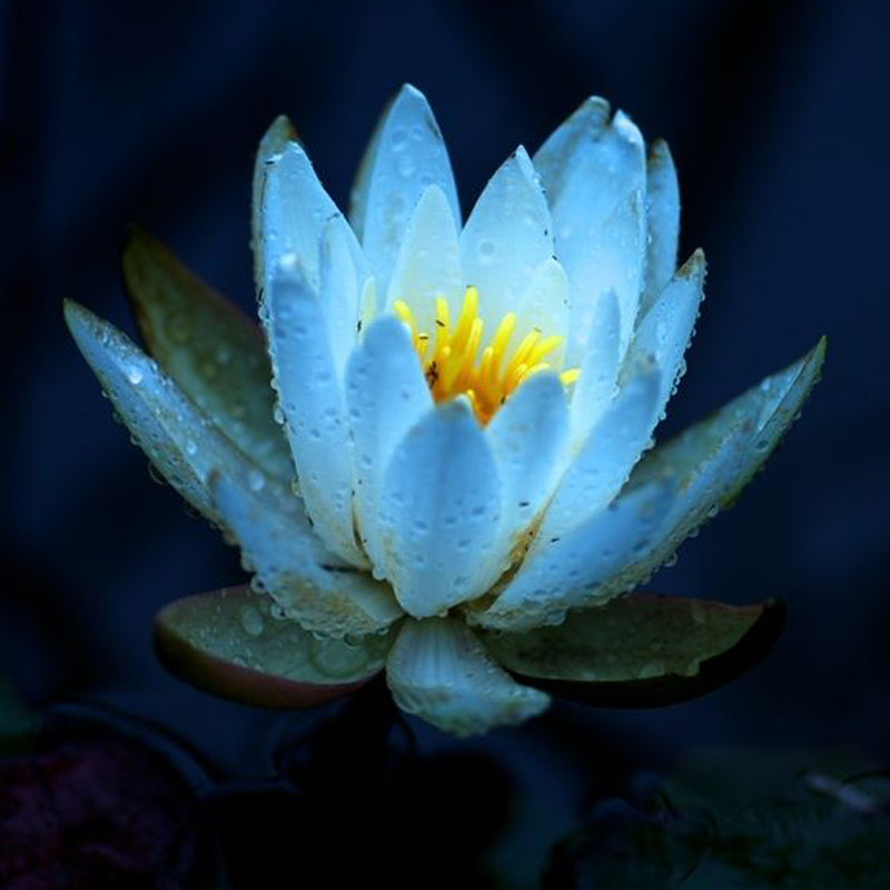 Online Buy Wholesale Blue Water Lilies From China Blue