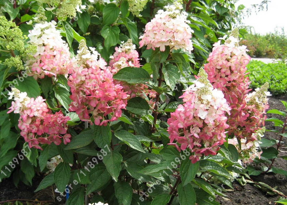 Hydrangea-paniculata-Kolmavesu-MAGICAL-VESUVIO