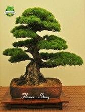 Bonsia pine growing japanese tree easy bonsai garden flower seeds diy