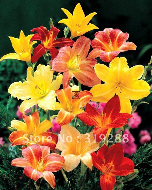 2pcs/bag Hybridization of Hemerocallis flower Seeds mixed colour DIY Home Garden