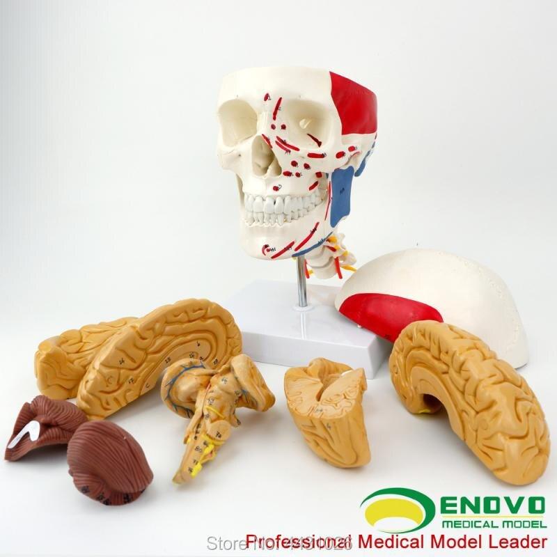 ENOVO cerveau tête et muscle cerveau modèle de médical humain. cerveau anatomie crâne modèle 1:1