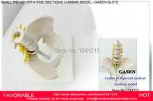 HUMAN ANATOMICAL LUMBAR  SPINE ORTHOPAEDICS HUMAN SKELETON SPINE MODEL MEDICAL MODEL LUMBAR SPINE VERTEBRAE MODEL GASEN-GL010