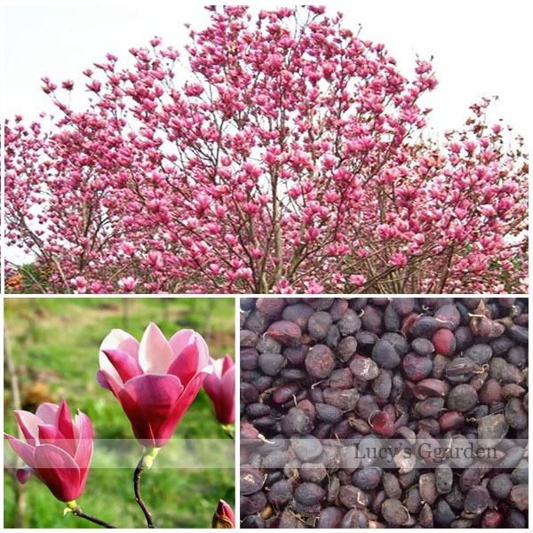 envo gratis unids magnolia semilla magnolia semillas de flores del rbol perenne jardn