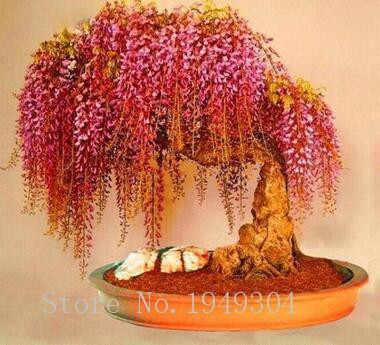 Il trasporto Libero 10 pcs Rare rosso Wisteria fiore Bonsai albero perenni Ornamentali Coperta Piante in vaso per la casa da giardino mini