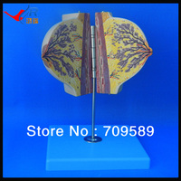 Medical teaching breast anatomical model in resting period