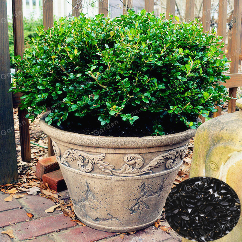 Bonsai Boxwood Seeds Home Garden Plant Insect Repellent For Families Absorb Formaldehyde Potted Tree 50 PCS