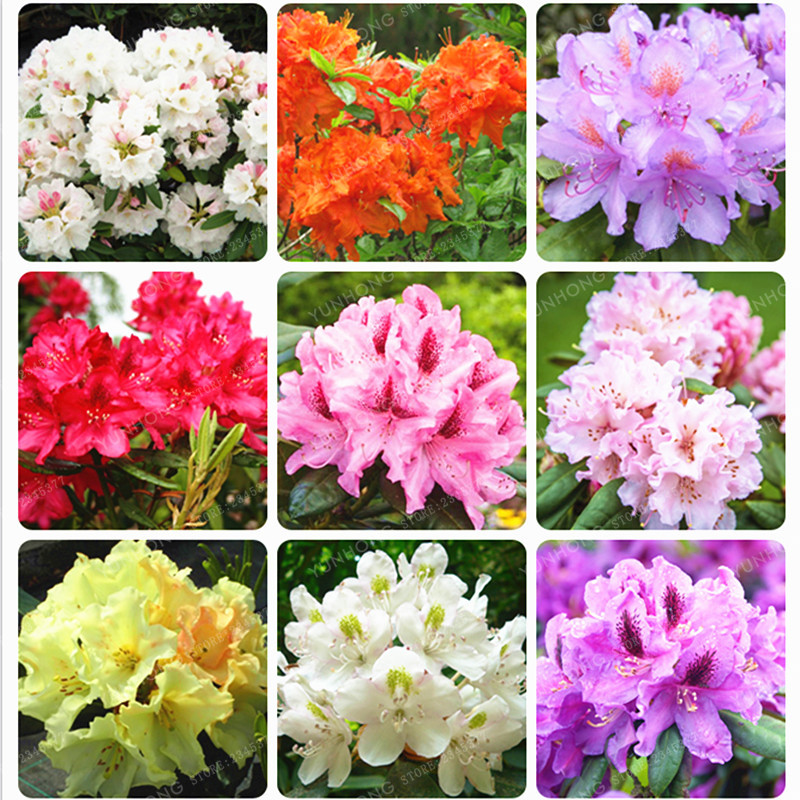 Rhododendron Seeds Flower Bonsai Seed Indoor Living Room Home ...