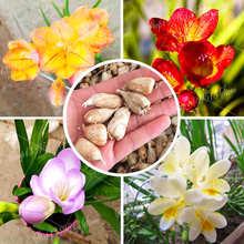 2Pcs Common Freesia plant bulbs garden flowers freesia orchid easy to grow family decoration bonsai planting