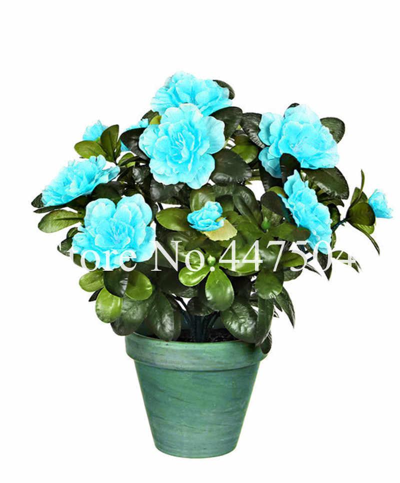 نادرة اللون اليابانية أزاليا بونساي ، رودودندرون أزاليا ، زهرة الأزالية بونساي شجرة لتقوم بها بنفسك حديقة المنزل النبات سهلة النمو 100 قطعة