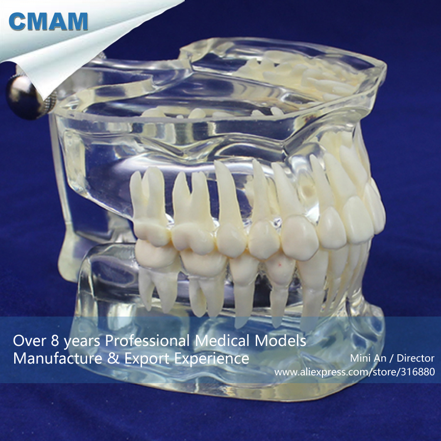 CMAM-DENTAL11 Real Size 1:1 Transparent Adult Dental Tooth Model,  Medical Science Educational Teaching Anatomical Models cmam dental16 child dental education 3 6 age graghically developing model