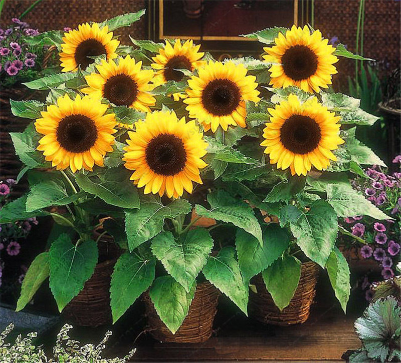 Dwarf Sunflower Seeds, ornamental flower seeds, Bonsai potted plants Helianthus Annuus seeds for garden balcony flower30pcs/bag