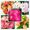 100 Pcs Cactus Euphorbia Milii Bonsai New Rare Flower Plants For Home Garden Free Shipping Very Easy Grow Home Bonsai