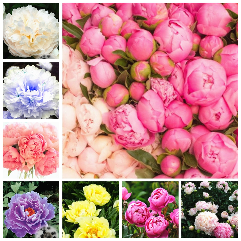 20 pcs / bag dwarf trees Rare Chinese peony planting greenery flowers outdoor terrace courtyard Paeonia flower for home garden decor