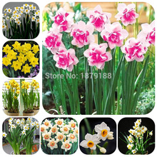 100pcs Narcissus Bonsai  Rainbow Daffodil Flower Absorption Radiation aquatic plants double petals Narcissus garden plant B39 куртка black daffodil