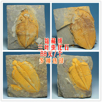 Collection level crown insect paleontology trilobite fossils of Shiyan Zi rough stone body integrity