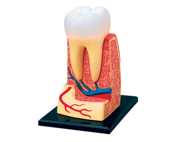 4d Human Teeth Anatomy Triple-root Molar Model  puzzle Assembling Toy Skelekon Medical Teaching Aid Laboratory Education