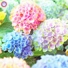 5pcs Mixed Hydrangea Bonsai Seeds Real Colorful Climbing Flower Seeds Courtyard Blooming Plants for Home Garden Best packaging