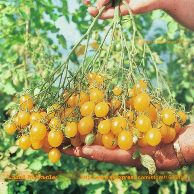 Ildi Heirloom Tomato Fruit Seed, 50 Seeds/Pack, Yellow Grape Tomatoes, Extra