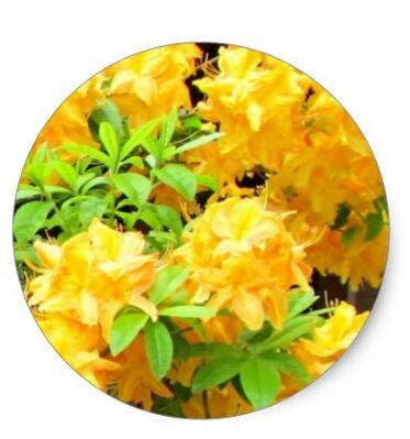 1 5 polegadas rhododendron em amarelo classico adesivo redondo
