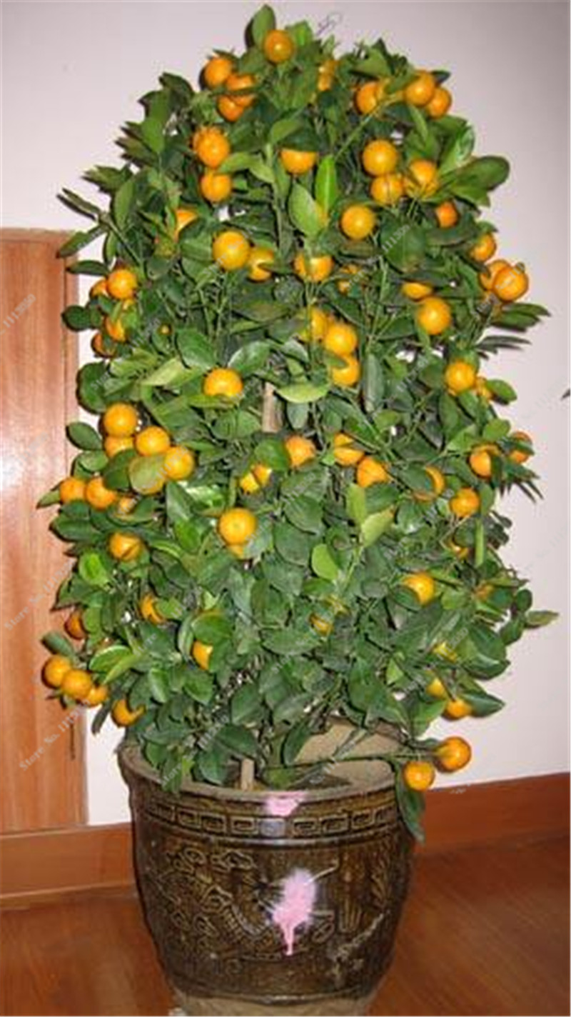 20 Pcs Orange Seeds Dwarf Bonsai Mandarin Orange Seeds Edible Fruit Tree for Home Garden Supplies Organic Delicious Potted Plant