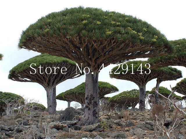 10 Pcs Dracaena Tree Bonsai Dragon Blood Draco Showy Rare Giant Flower Garden Plants Easy To Grow