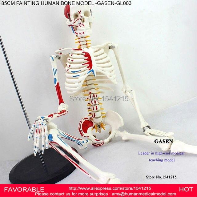 85cm Human Skeleton Model Human Anatomical Vertebral Artery