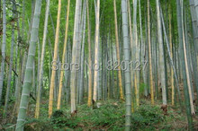 1000 + шт Moso бамбук огромный мао бамбук — семена — пушистая Phyllostachys / маракуйя — Moso харди бамбук