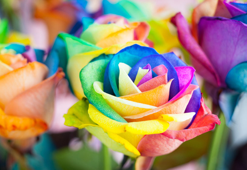 3 Pack of Rare Rainbow Rose Seeds / 1 Pack 20 Seeds For Your Lover Total 60 Seeds
