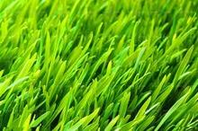 Turf Grass Seeds, 500pcs/pack