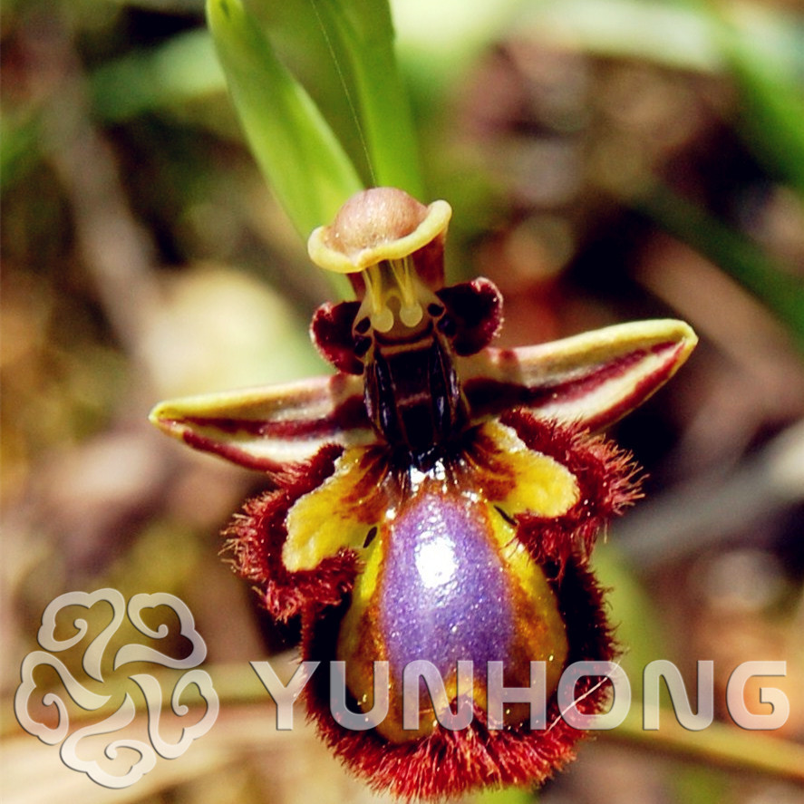 On sale 100pcs like bees horn eyebrow orchid flowers seeds 100pcs like bees horn eyebrow orchid flowers seeds rare beautiful flower seeds home and garden free shipping in bonsai from home garden on aliexpress dhlflorist Images