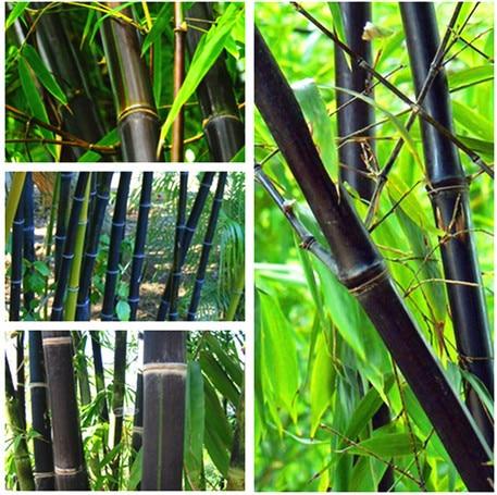 100PCS Black Bamboo Seeds Phyllostachys Nigra Bonsai Seeds Home Garden flower pot planters free shipping