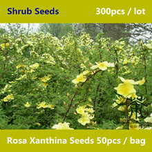 Deciduous Shrub Rosa Xanthina Seeds 300pcs, Beautifying Rosaceae Family Manchu Rose Seeds, Widely Cultivated Huang Ci Mei Seeds