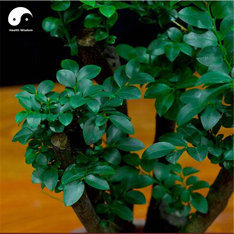 US $9 99 |Buy Lobular Red Sandalwood Tree Semente 50pcs Plant Pterocarpus  Santalinus Grow Rare Wood Tree Zi Tan-in Bonsai from Home & Garden on