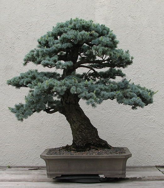 bonsai-Cedrus-Deodara-Conifer-Indoor-Plant-Bonsai-Tree-Light-Blue-Deodara-Cedar-10pcs-bag.jpg_640x640