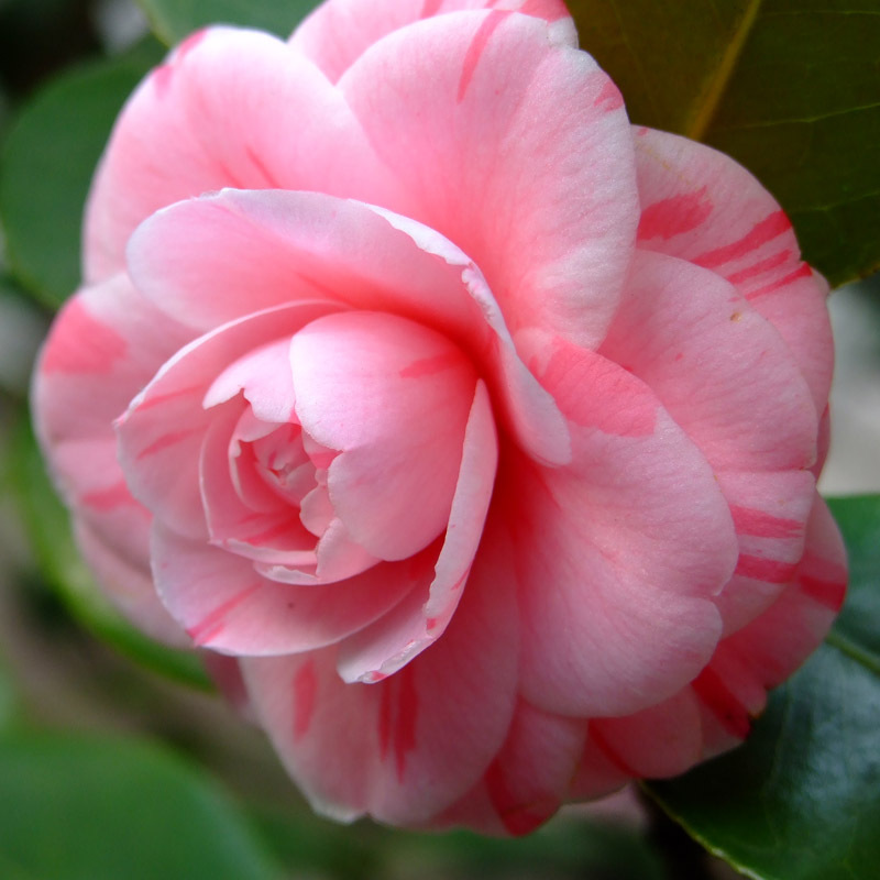 Rare pink double color camellia seeds potted garden flower seeds rare pink double color camellia seeds potted garden flower seeds potted ornamental plants japanese camellia seeds 120pcs in bonsai from home garden on mightylinksfo